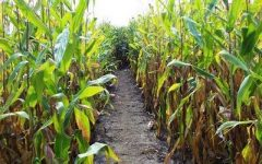 Photo credit: flicker.com  There are corn mazes galore to enjoy this season.