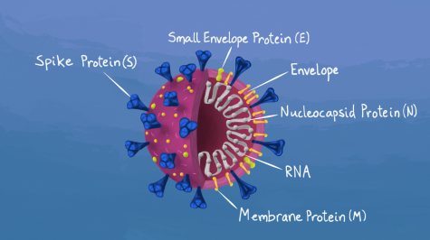 Diagram of the COVID-19 virus.
